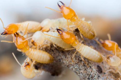Termite infestation in malaysia'