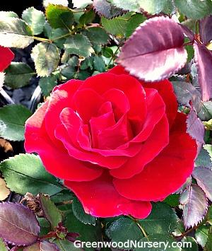 Rose Flower'