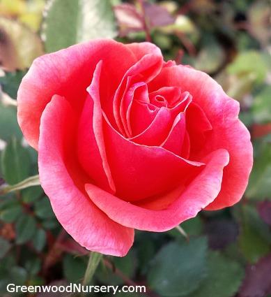 Rosebud'