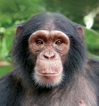 Nigeria - Cameroon Chimpanzee - African Apes