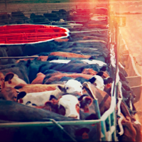cattle severance differ