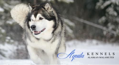 Aquila Kennels'