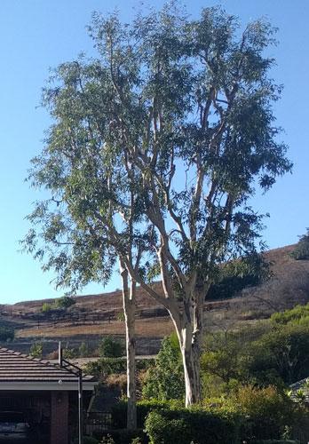 tree shaping'