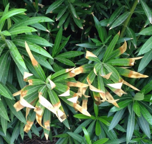 Green Solutions Landscaping Reports on Oleander Leaf Scorch'
