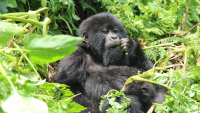5-Day Fly-in Bwindi Gorillas