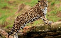 7-Day In the Footsteps of the Elusive Jaguar