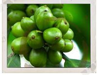 Pure Green Coffee Bean Extract'