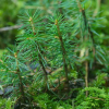Pine Tree Seedlings Donated'