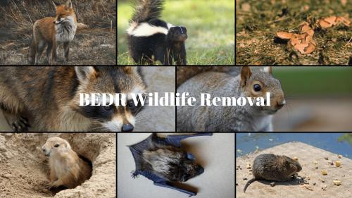 Wildlife Removal Virginia, Maryland'