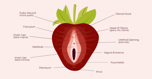 Strawberry-inspired vulva diagram from The Cunnilinguist'