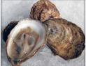 oyster'
