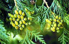 Thuja Occidentalis / White Cedar'