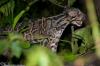 Sunda Clouded Leopards in Sabah,Malaysia'