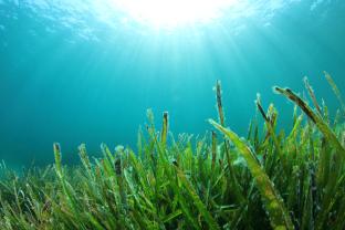 Commercial Seaweeds Market'