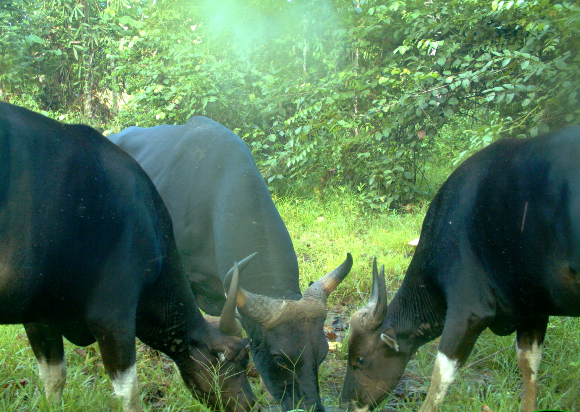 Three banteng males at an artificial salt lick in Malua Fore