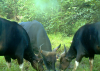 Three banteng males at an artificial salt lick in Malua Fore'