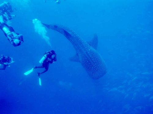 Belize Whale Shark Diving'
