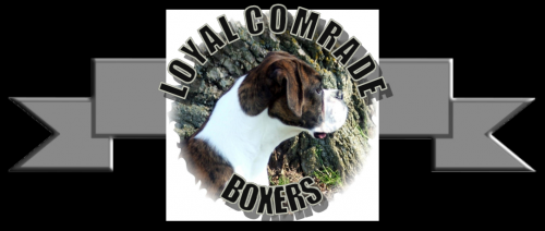 Boxer Puppies Arrive At Loyal Comrade Boxers'