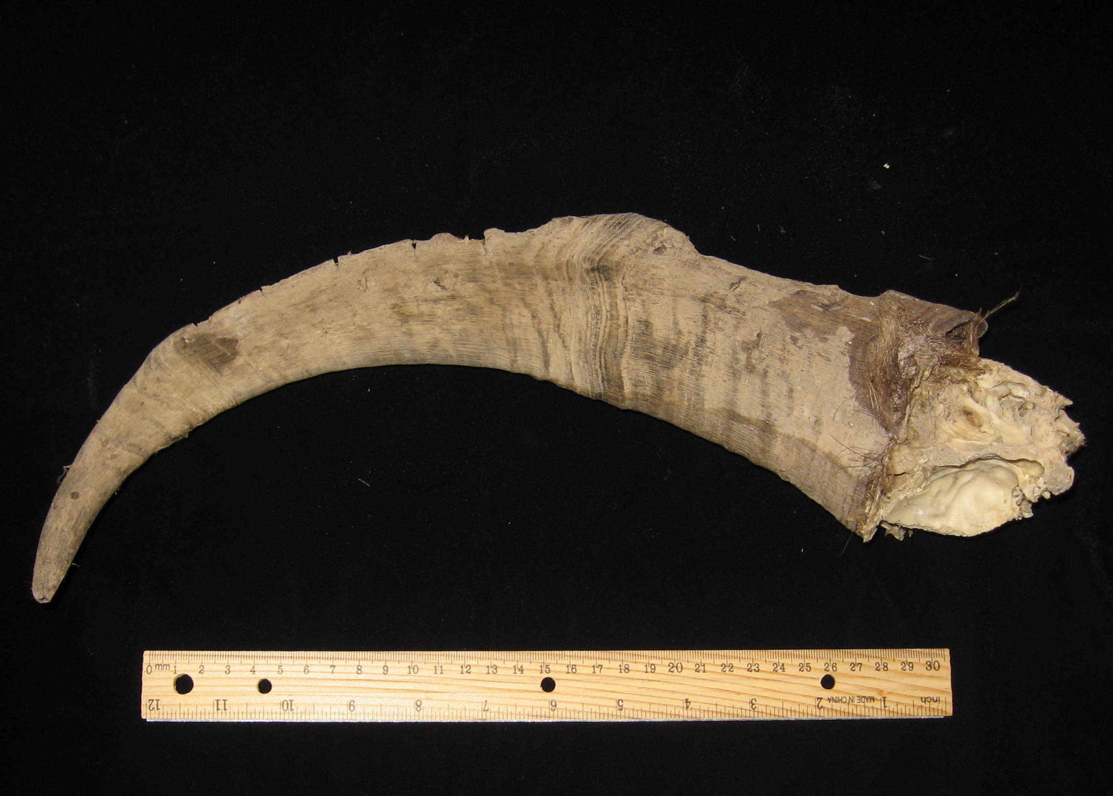 Horn core of wild goat (Artifact 1).