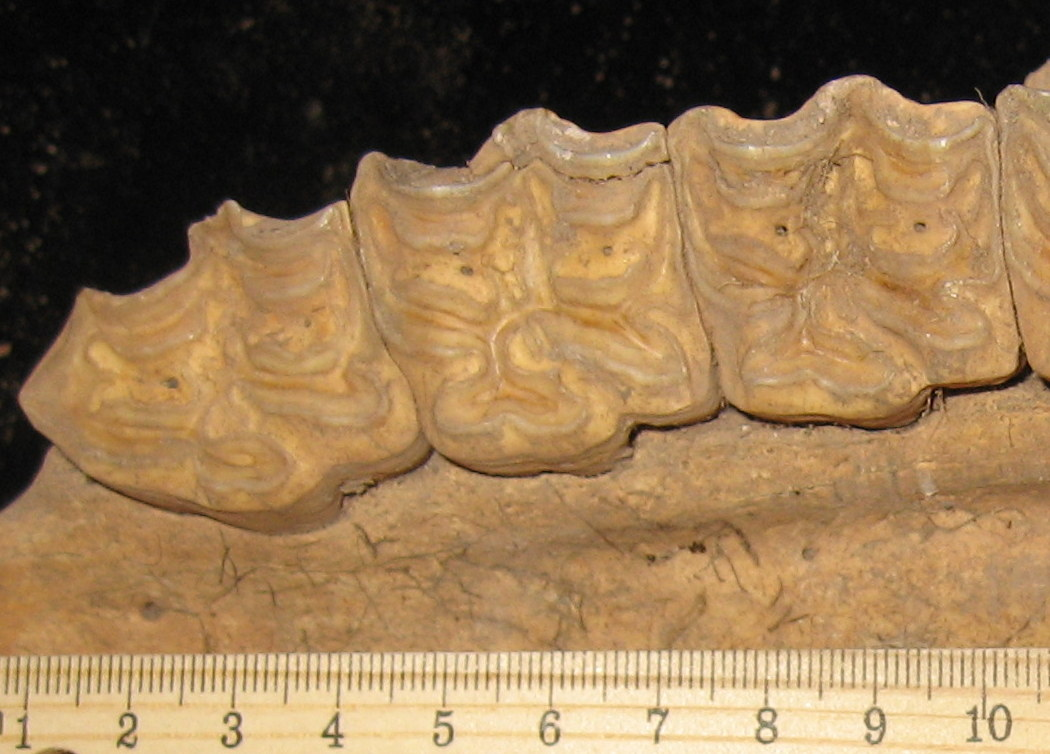 Maxillary teeth of horse (Artifact 2).