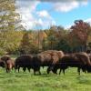 Buffalo Farm'