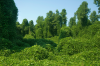 Kudzu: The Vine that Ate the South'