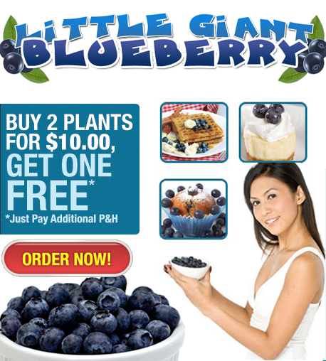 Blueberry Giant'