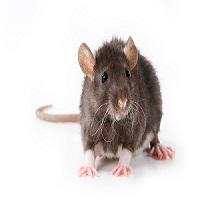 Company Logo For Extermination of Rats Brisbane'