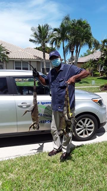 Iguana Pest Control'