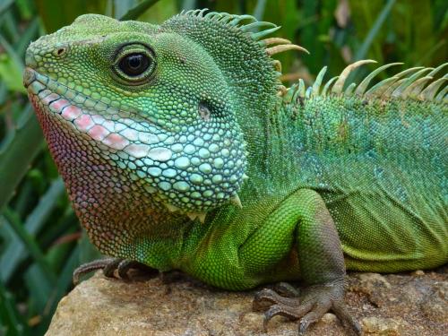 Iguana Trapper'