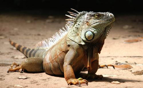 Iguana Extermination'