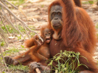 Female Sumatran orangutan with baby
