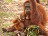 Female Sumatran orangutan with baby'