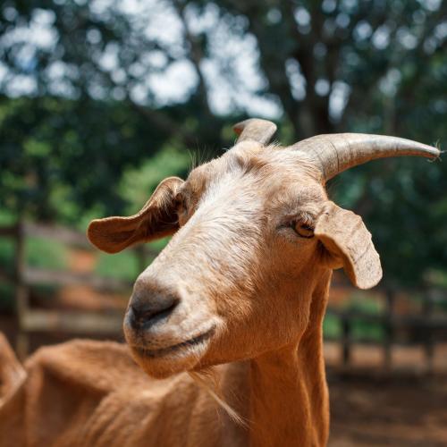 Goat Cattle Sheep Farm'