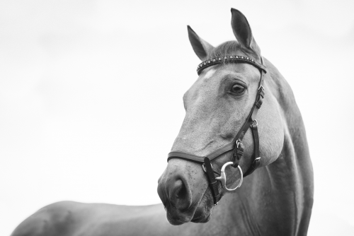 american saddlebred'