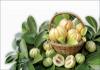 Garcinia Cambogia Extract'