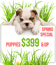 American Dog Club spring special puppies from $399 and up'