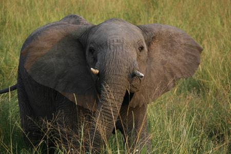 Last of the Elephants'
