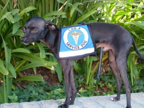 Meet GOLIATH: Department of Animal Services Certified Assist'
