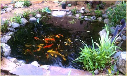 Koi Pond'