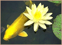 Yellow Koi