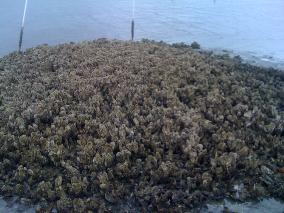 Oyster Reef Restoration'