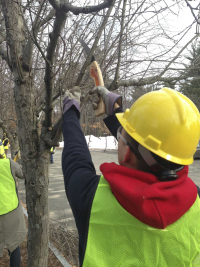 Volunteer prunes a tree in Springfield's Forest Park