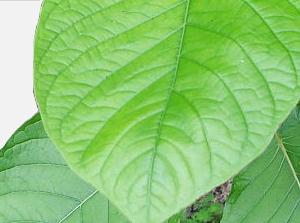 Kratora leaves'