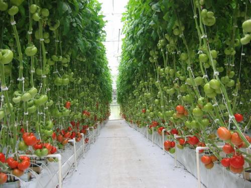 Miracle Stake, Inc. Grow Bigger, Healthier Vegetables'