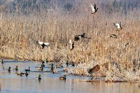 waterfowl hunting'