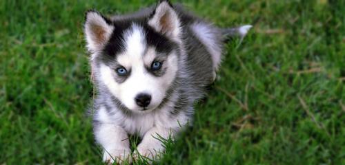 Pomeranian Husky Mix'