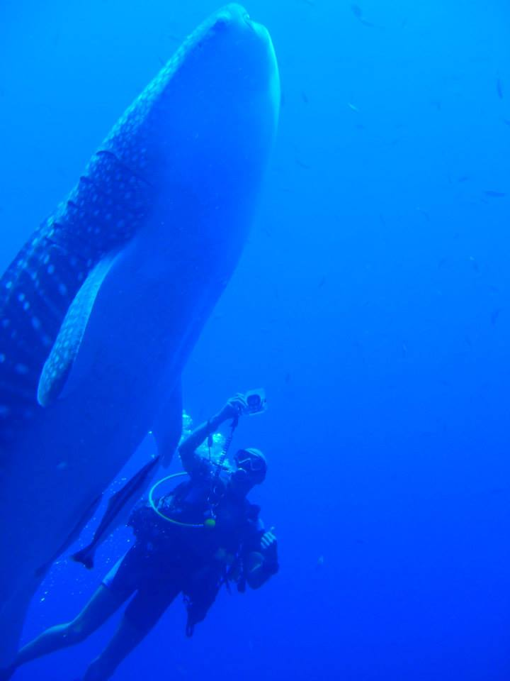 Whale Shark at the Similan Islands