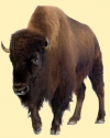 Bison Feeding Experience'