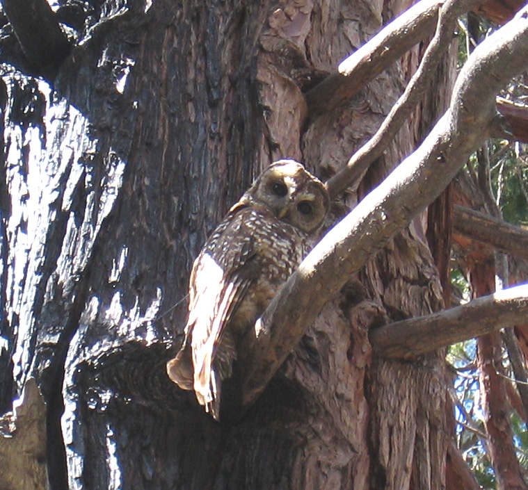 California Spotted Owl Sequoia National Forest